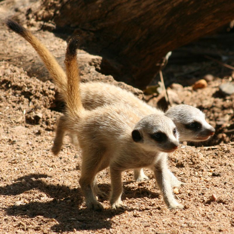 Meerkat-Pups_16.1.13_MQ-(9)