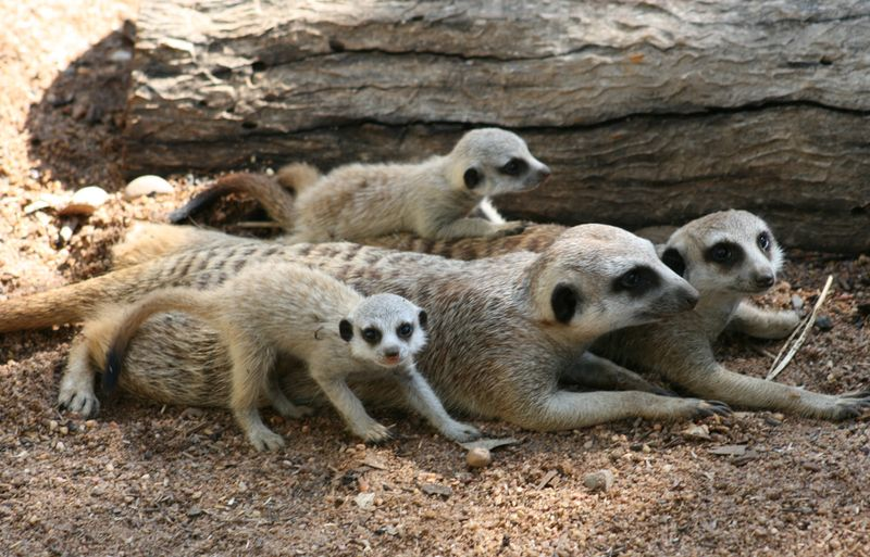 Meerkat-Pups_16.1.13_MQ-(39)