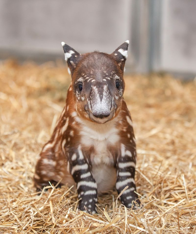 Tapir calf - Amiee Stubbs