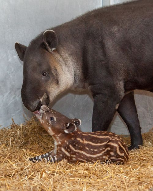 Calf with Mother - Amiee Stubbs