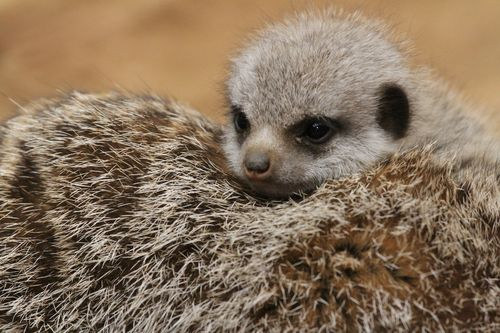 Meerkat baby at Chester Zoo