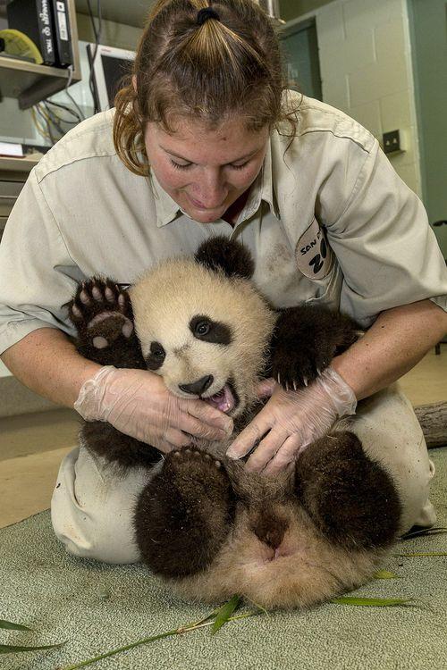 Panda tickle