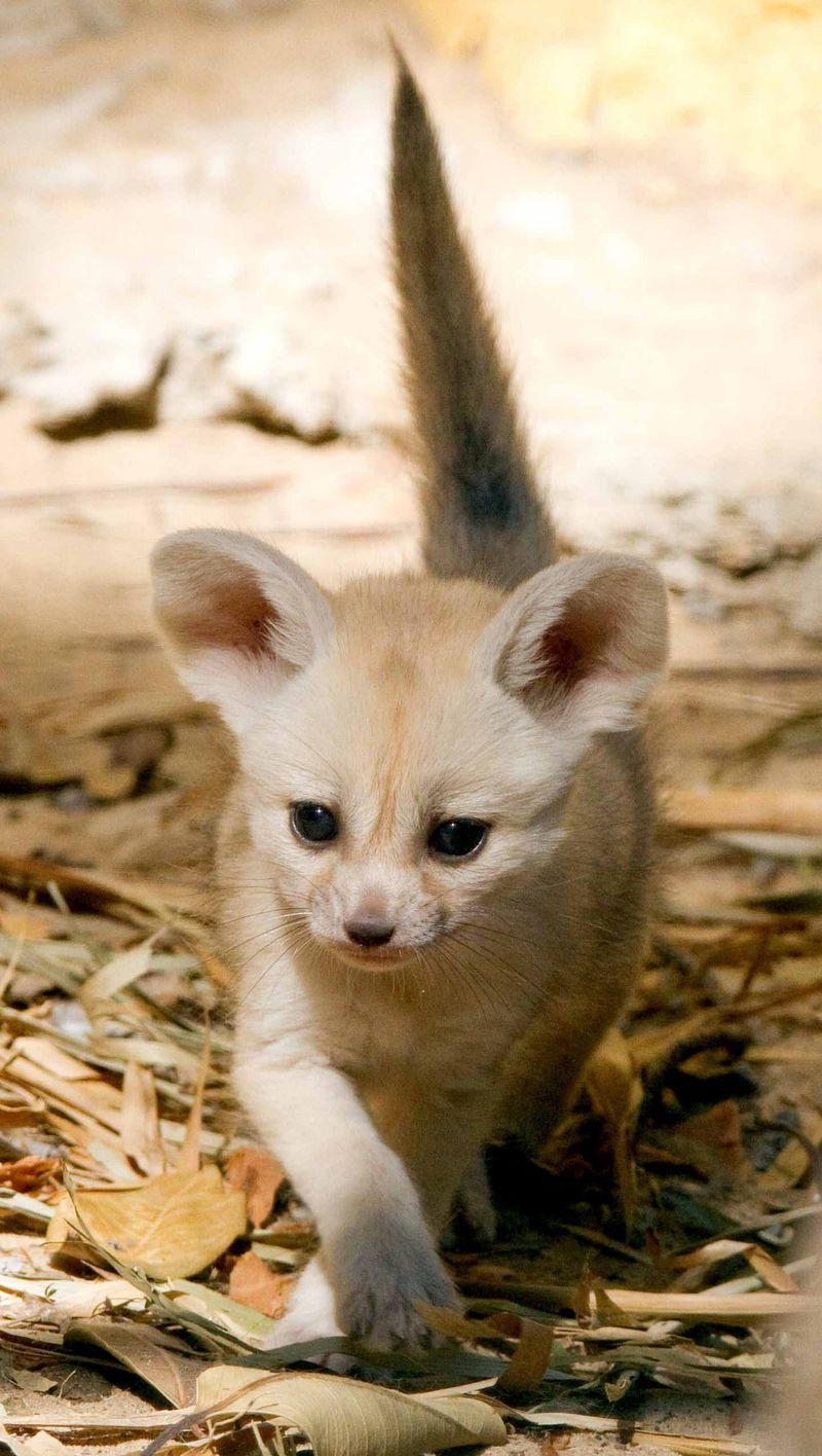 Fox CU