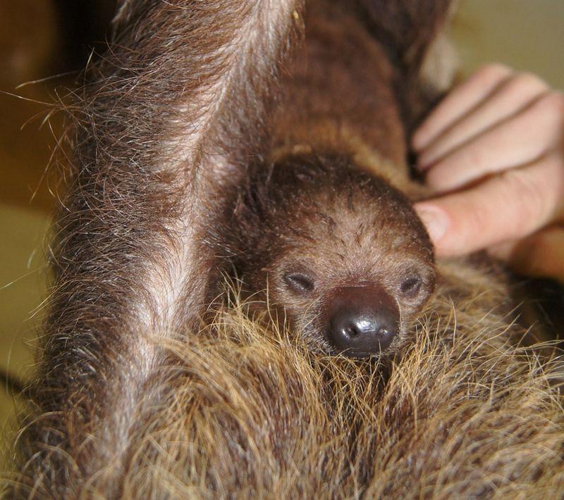 Sloth size