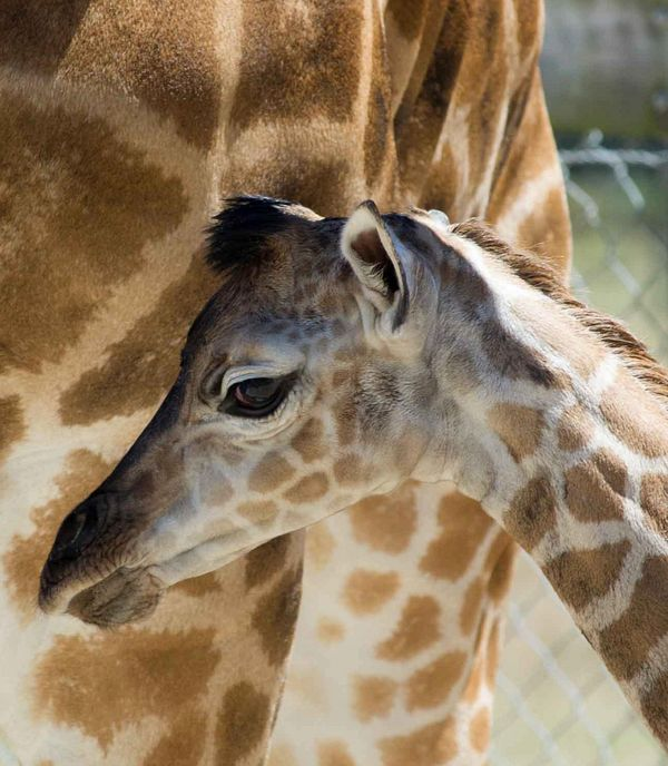 Mogo Zoo's Visitors in Awe at Birth of Baby Rothschild ... - photo#17