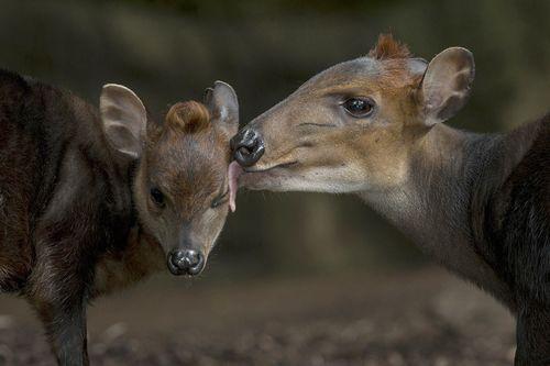 Duiker kiss