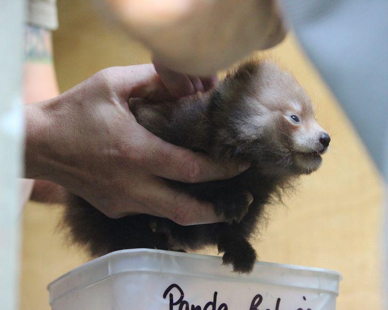 Baby-panda.jpg