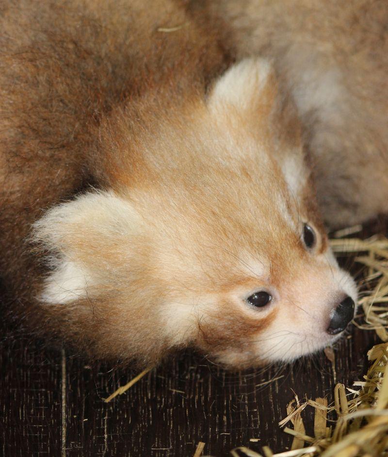 Red Panda Head Profi