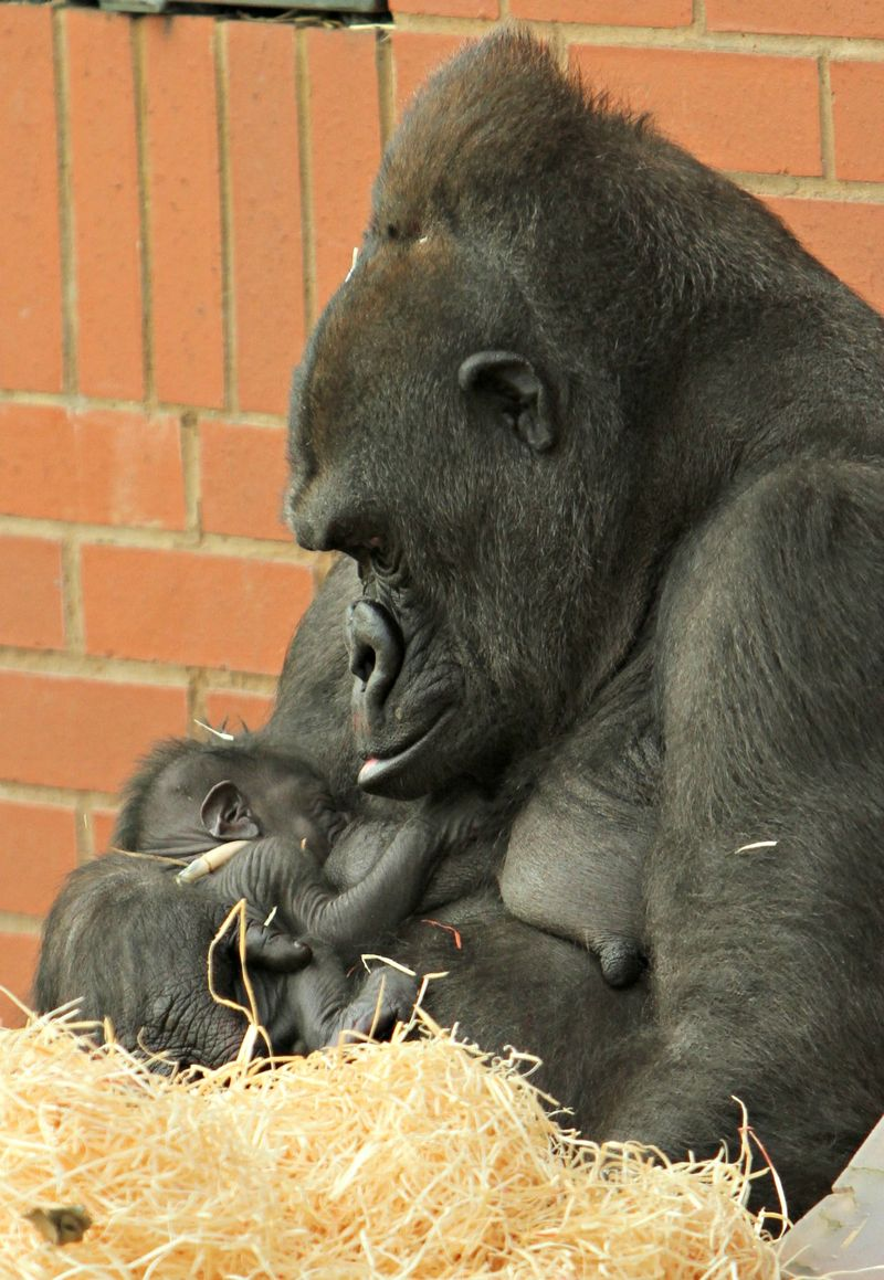 Ozala and Baby - Credit Twycross Zoo