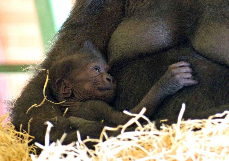Baby Gorilla credit Twycross Zoo