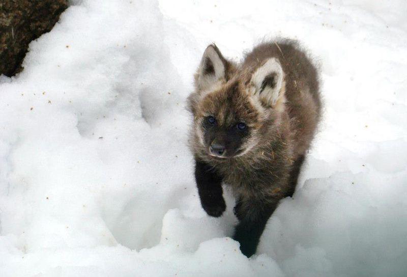 Maned-Wolf-Zoo-Liberec-3