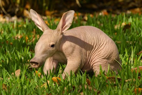 Busch Gardens Aardvark 3
