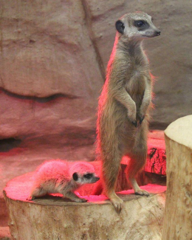 Meerkat-Warsaw-Zoo 2