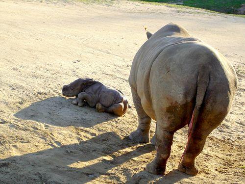 SDZ Rhino 6