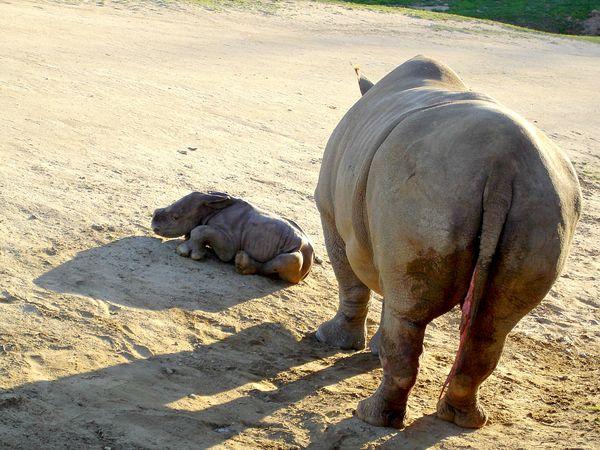 Southern White Rhino Calf Charges Into San Diego Zoo Safari Park