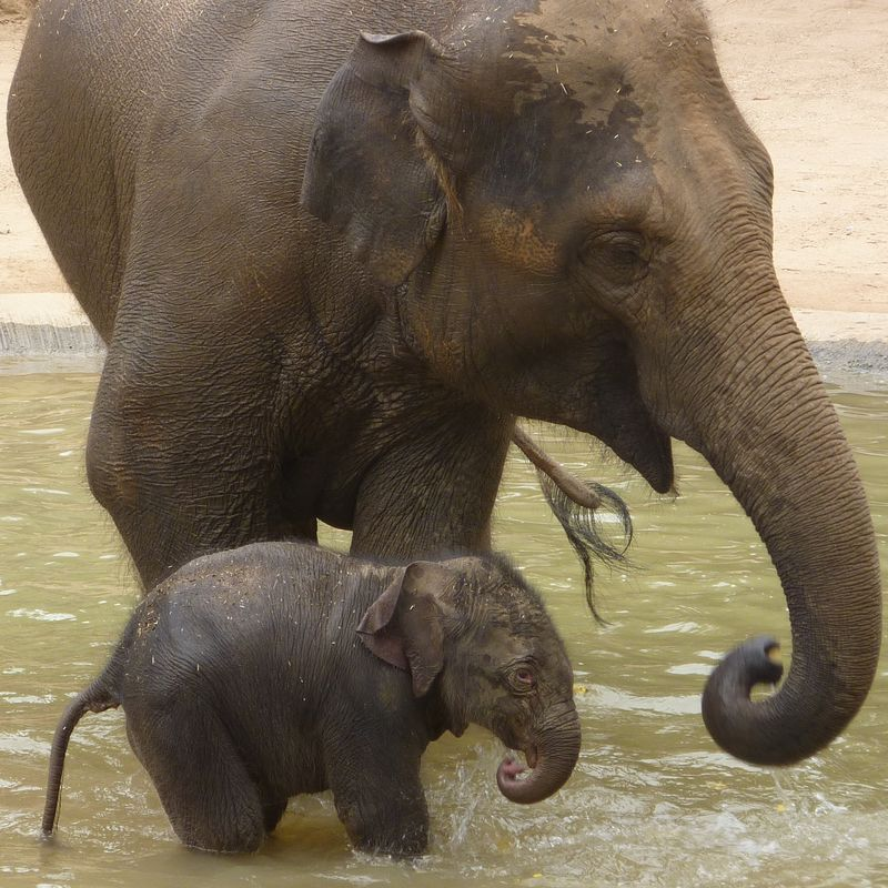 Baby-elephant-first-time-in-paddle-pool-with-mum-Num-Oi-011
