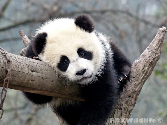 Panda Cub on Branch