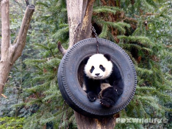 Panda Cub in Swing