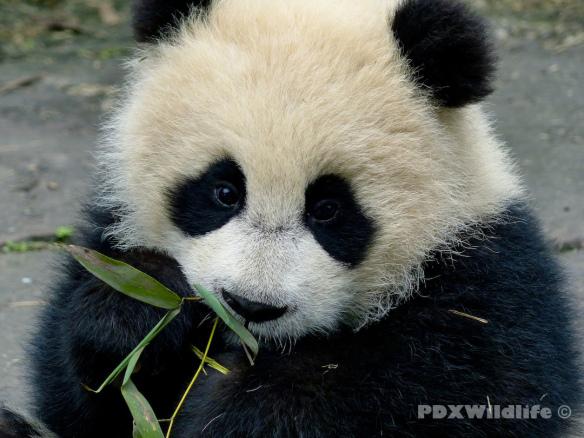 Panda Cub Eating 2