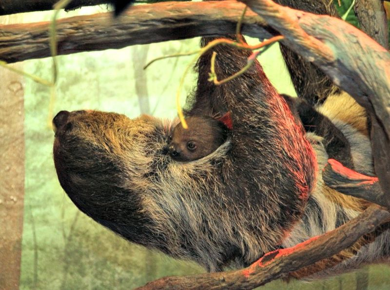 Sloth Baby 3_7_2013_media (2)