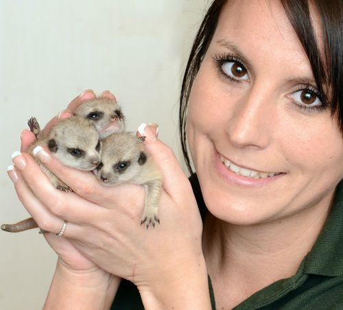 Yianna Meerkats Small