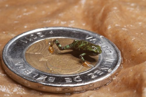 Frog coin 2