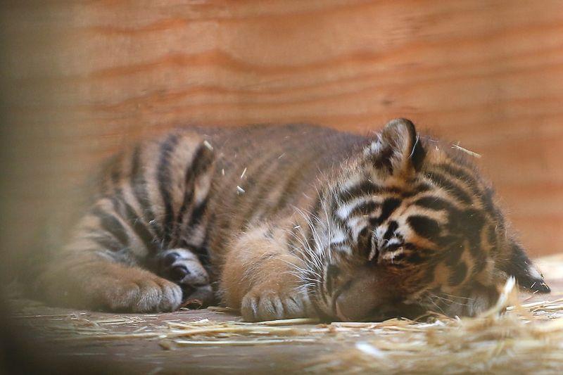Tiger nap MH