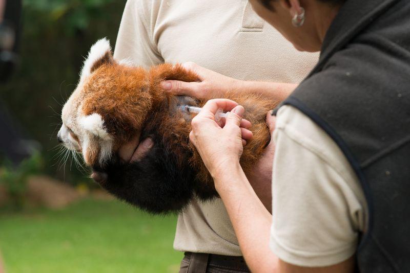 Red Panda Mogo Zoo 5