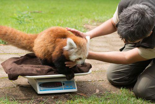 Red Panda Mogo Zoo 7