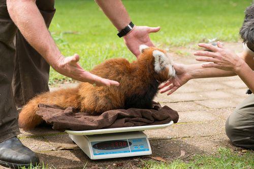 Red Panda Mogo Zoo 2