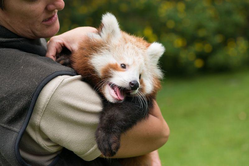 Red Panda Mogo Zoo 3