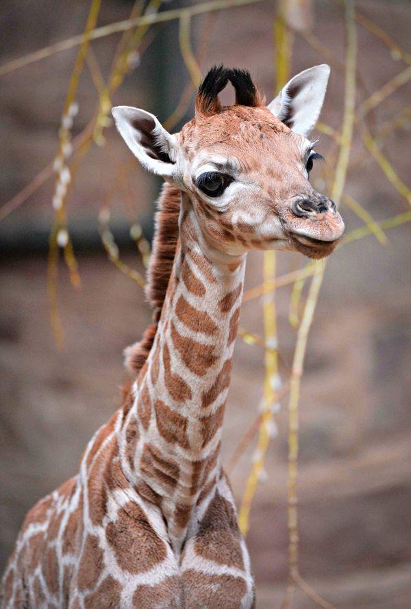 Rare Rothschild S Giraffe Born At Chester Zoo Zooborns