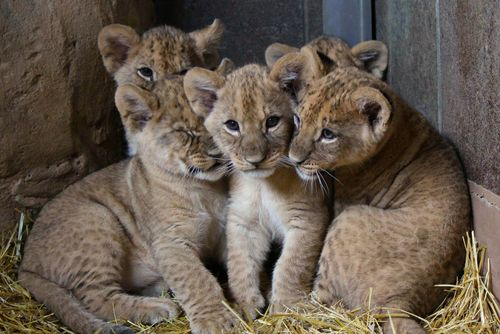 UPDATE! Omaha Zoo Lion Cubs Get Named