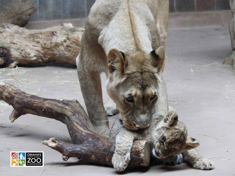 Omaha Lion 6