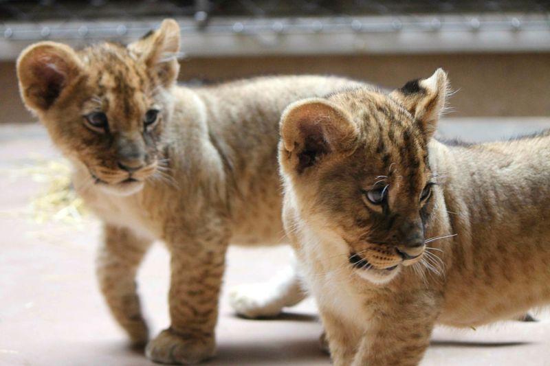 Omaha Lion 7