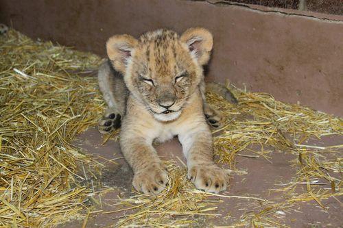 Omaha Lion 9
