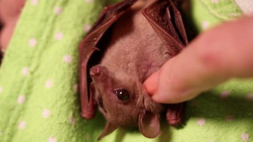 Bat scritch