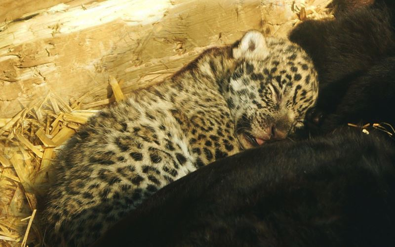 Beauval Jaguar