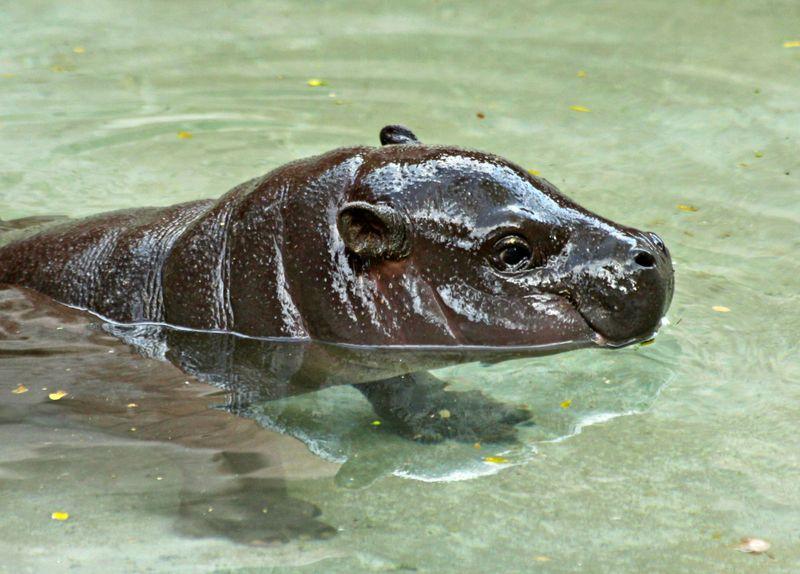 Baby hippo3