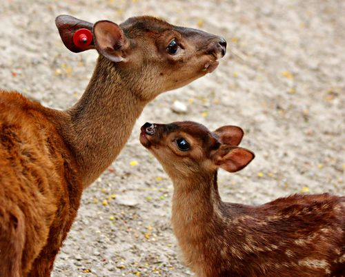 Red brocket 3
