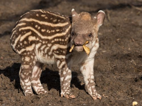 Howletts Tapir 1