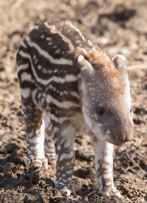 Howletts Tapir 2