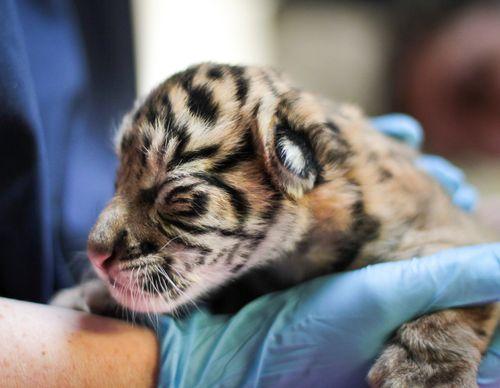 Sumatran Tiger Cub Point Defiance Zoo 2