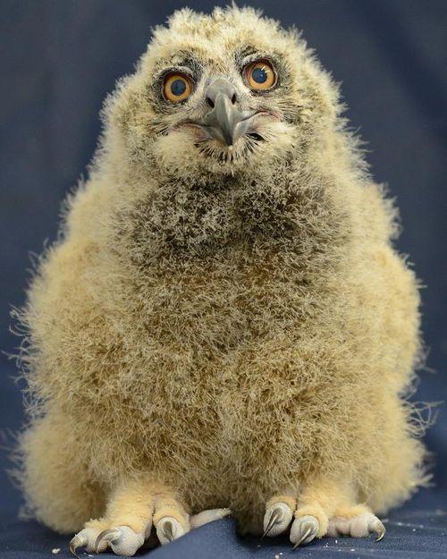 Eagle Owl Birdsnews Com