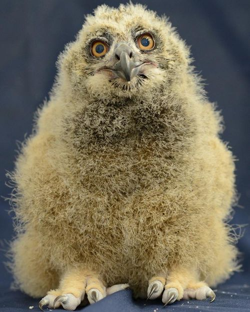 Owl hero