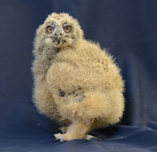 Owl side