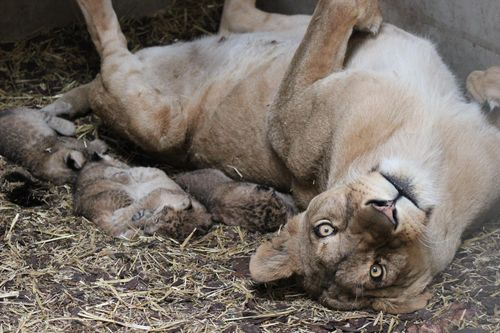 Lions w mom