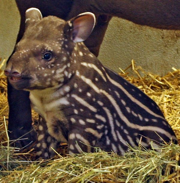 Baby Tapir at Salzburg Zoo is a Girl!