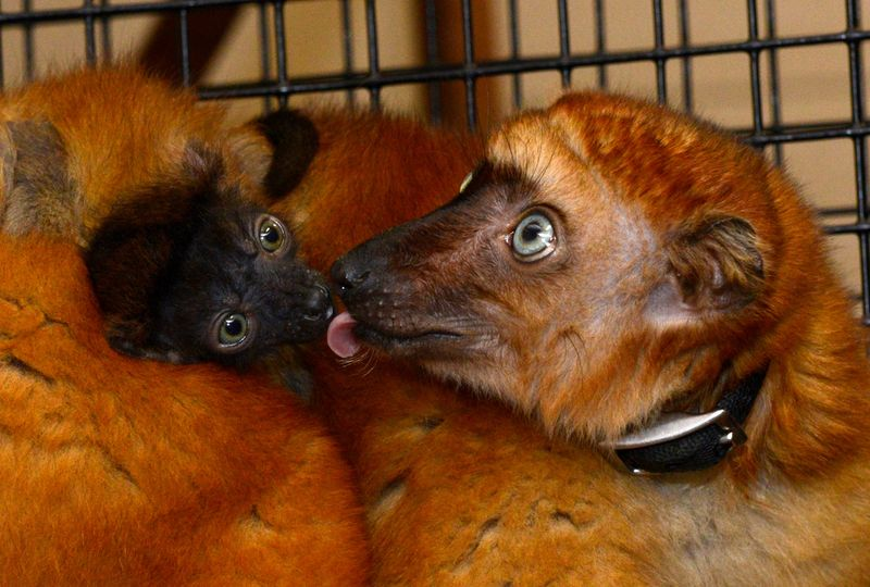 Blue eyed black Duke Lemur Center 2a.jpg