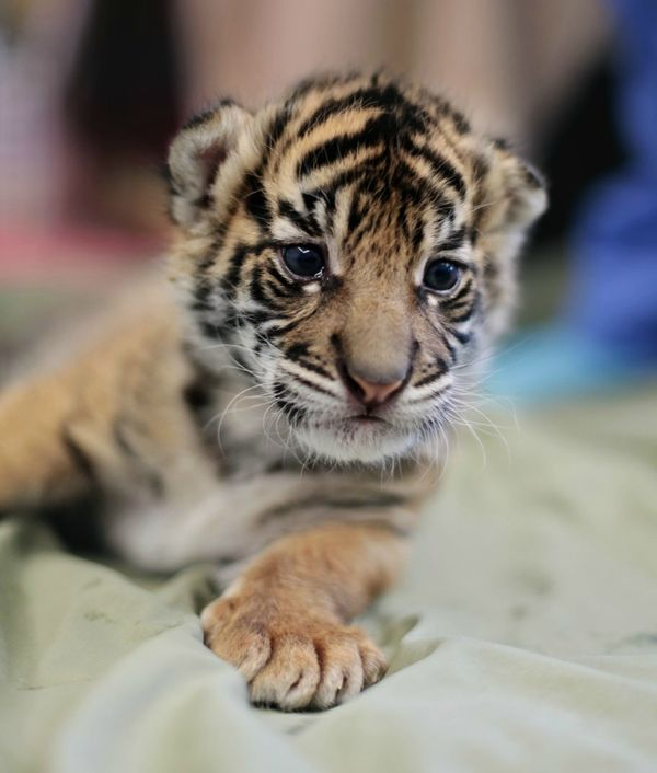 UPDATE Baby Tiger Gets Her Bottle At Point Defiance Zoo ZooBorns - 17 zoo animals happy see visitors